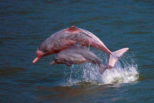 Pink dolphins playing in the waters off Lantau in Hong Kong, in a photo by the Hong Kong Dolphin Conservation Society