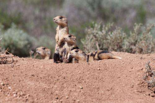 Prairie dogs disperse when all close kin have disappeared