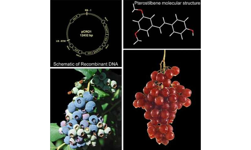 Ramping Up Pterostilbene in Crops