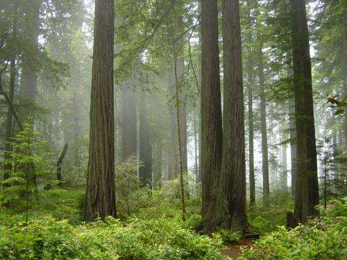 Redwood trees reveal history of West Coast rain, fog, ocean conditions