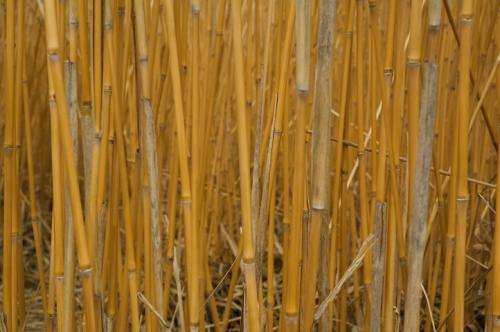 Regulation recommendations so that biofuel plants don't become weeds
