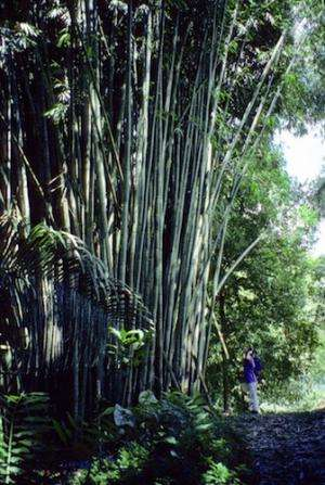 Researcher helps solve 5,000-year-old mystery: Team deciphers the Bamboo family tree