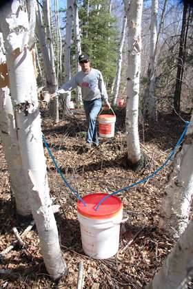 Researchers tap potential of walnut and birch trees