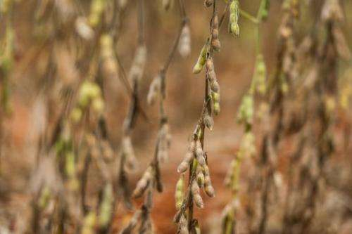 Ripe soybean awaiting harvest time in a field in western Brazil on January 30, 2011