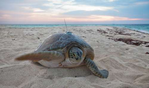 Sea turtles benefiting from protected areas