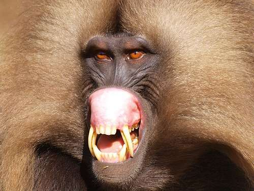 Secret rendezvous: Geladas conceal monkeying around from leader males