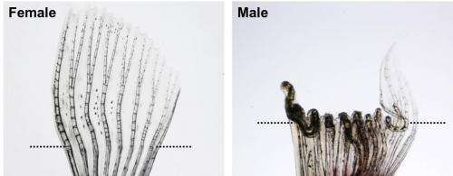 Sex over survival: Reproductive trait in fish impedes tissue regeneration