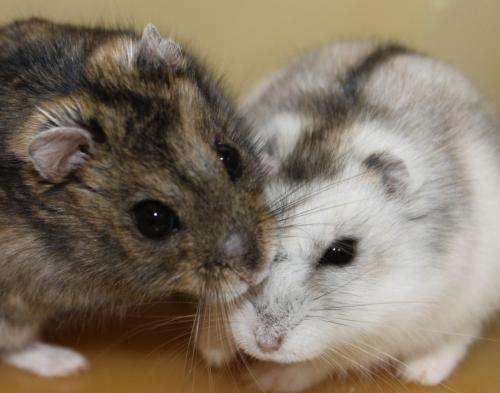 Siberian hamsters show what helps make seasonal clocks tick