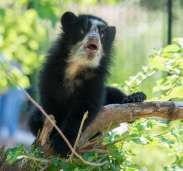 Sloth bear cub debuts at the Smithsonian's National Zoo