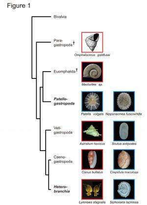Snail shell coiling programmed by protein patterning