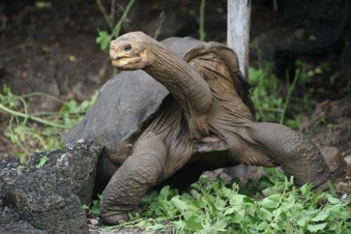 So-called Lonesome George walks around Galapagos National Park's breeding centre on April 19, 2012