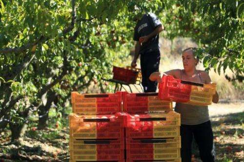 Spanish workers gather nectarines at a farm in Ille-sur-Tet, southern France, on September 12, 2013