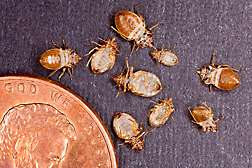 Studying bed bug actions for new management tactics