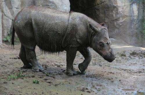 Suci, a female Sumatran rhino is shown at Cincinnati Zoo, July 23, 2013