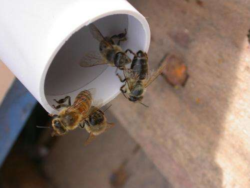 The bee's knees for detecting disease
