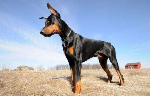 The hoarding gene: Using the behavior of Doberman pinschers to understand the compulsion to collect