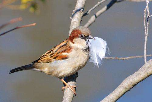 The more feathers a male sparrow carries to the nest, the more eggs the female will lay