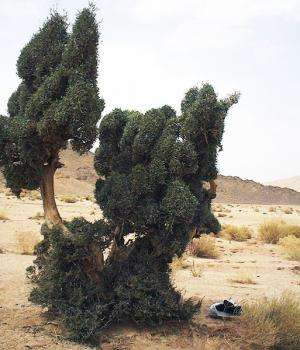 The Sahara olive tree: A genetic heritage to be preserved