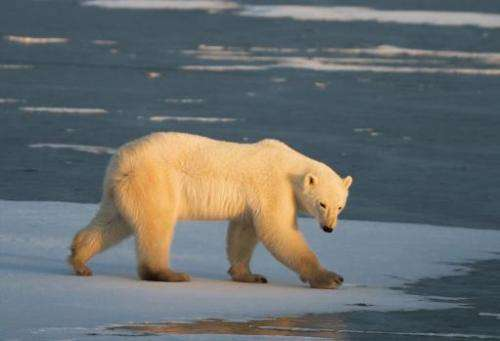 The United States, Canada, Russia, Greenland and Norway host a global population of 20,000 to 25,000 polar bears