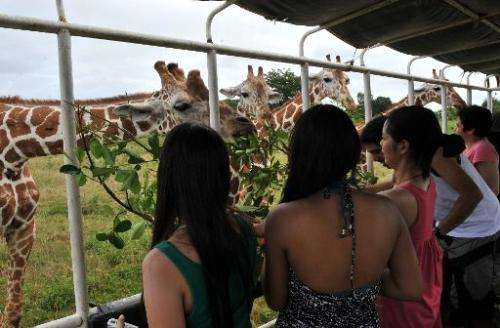 Tourists feed giraffes with leaves on September 18, 2011 at Calauit Game Preserve and Wildlife Sanctuary in Calauit Island, Busu