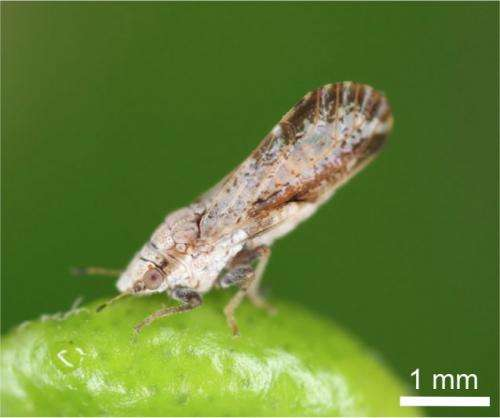 Toxin-producing bacteria integrated into a pest insect