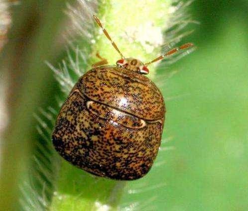 Tracking the Kudzu Bug in Maryland