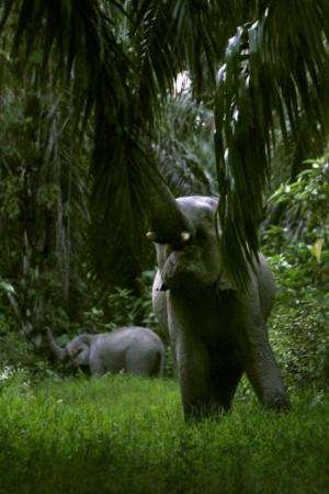 Two wild Sumatran elephants eat palm  leaves in East Aceh district, Indonesia, on March 3, 2013