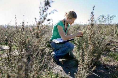Southern California sagebrush better suited to climate change, study finds