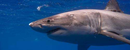 UH SOEST and Hawai'i DAR provide new understanding of rare white shark movement around Hawai'i