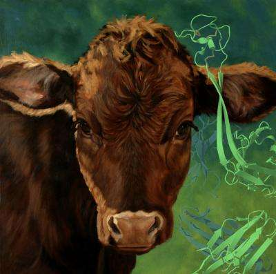 Unusual antibodies in cows suggest new ways to make therapies for people