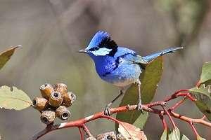 Urban bushland vital to Perth's birds