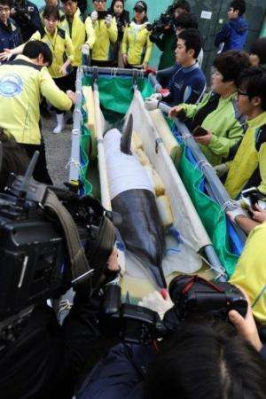 "Veterinarians and zoo keepers prepare the dolphin called ""Jedol"" (C) for transport at Seoul Grand Park Zoo, May 11, 20"