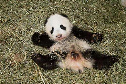 Vienna's new baby panda, seen on November 26, 2013, will be named Fu Bao, or Happy Leopard in Mandarin, the city's Schoenbrunn Z
