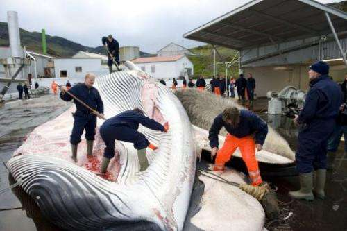 Whalers cut open a 35-tonne fin whale on June 19, 2009, one of two caught off the coast of Iceland