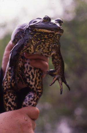 What do American bullfrogs eat when they're away from home? Practically everything!
