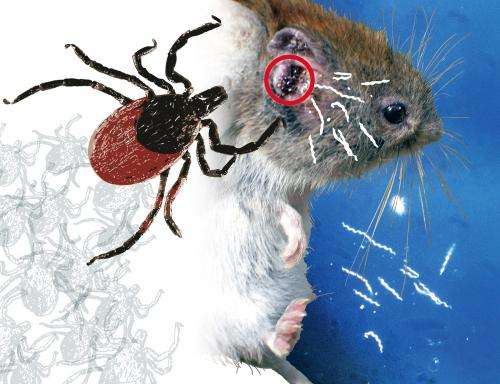 Wild mice have natural protection against Lyme borreliosis