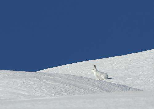 Winter wonderland? Mountain hares feel more comfortable away from winter tourists