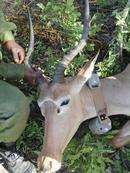 World's rarest antelope GPS collared for first time