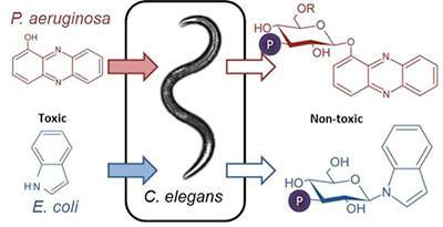 Worm sugarcoats bacterial toxins to stave off death