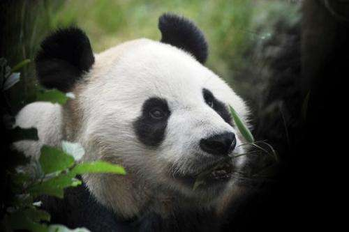 Yang Guang, a giant male panda chews on bamboo on his ninth birthday at Edinburgh Zoo on August 14, 2012