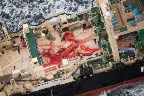 A handout photo from Sea Shepherd Australia Ltd showing crew members walking amongst blood, allegedly from four minke whales, af