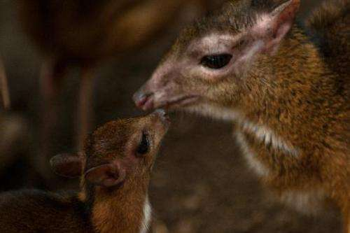 A Java mouse-deer cub, one of the world's smallest hoofed animals, and its mother at the Fuengirola Biopark, near Malaga, on Apr