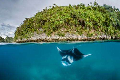 A manta ray swims in the waters of Raja Ampat in eastern Indonesia's remote Papua province in this Conservation International ph