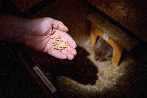 Andrzej Kuziomski feeds worms to a rescued hedgehog at his Kuziomski Igliwiak Foundation care center in Krakow, Poland on June 3