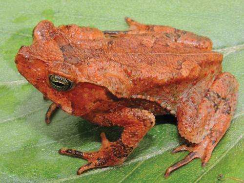 A new toad from the 'warm valleys' of Peruvian Andes