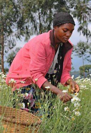 A woman harvests pyrethre flowers, which will later be dried to produce pyrethrum, a natural insecticide, in Musanze, northern R