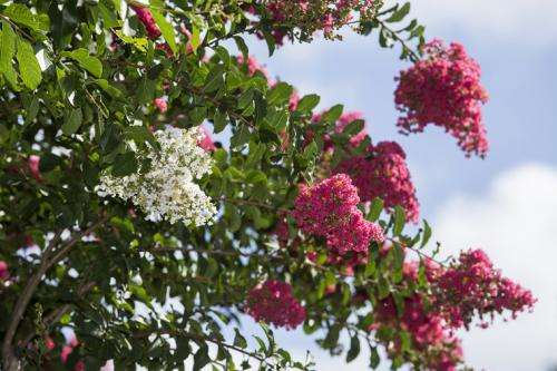 Beloved crape myrtle in nurseries now susceptible to bacterial leaf spot, researchers say