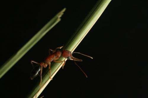 Dopamine turns worker ants into warrior queens