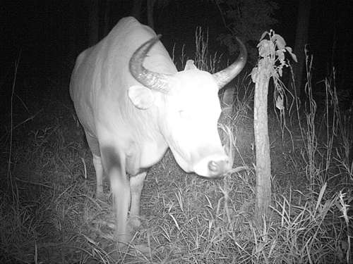 Endangered wild cattle discovered in Cambodia's northwest