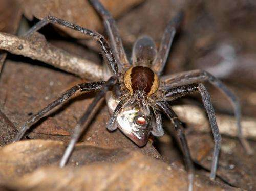 Fish-eating spiders discovered in all parts of the world